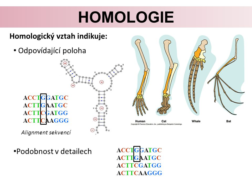homologie Homologický vztah indikuje: Odpovídající poloha