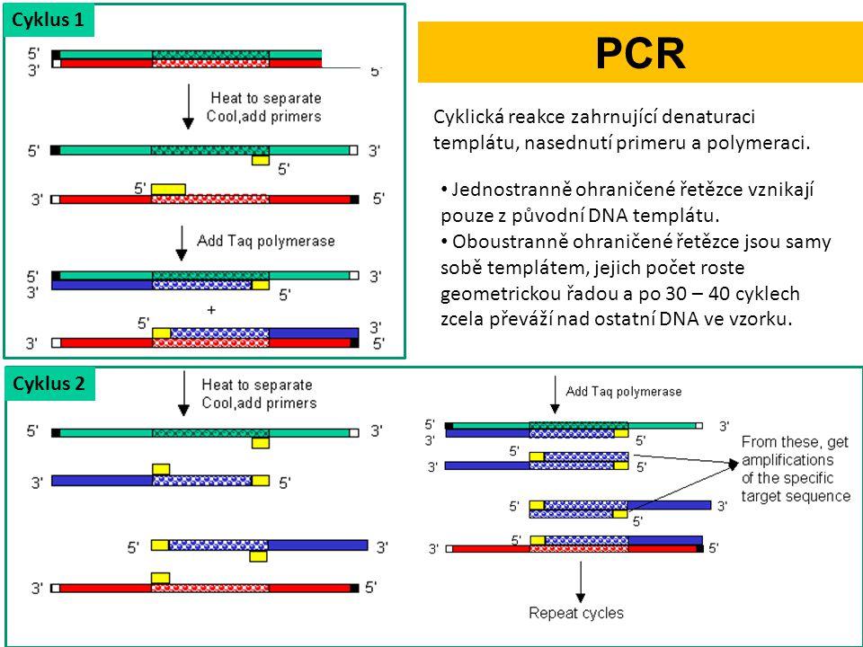 Cyklus 1 PCR. Cyklická reakce zahrnující denaturaci templátu, nasednutí primeru a polymeraci.