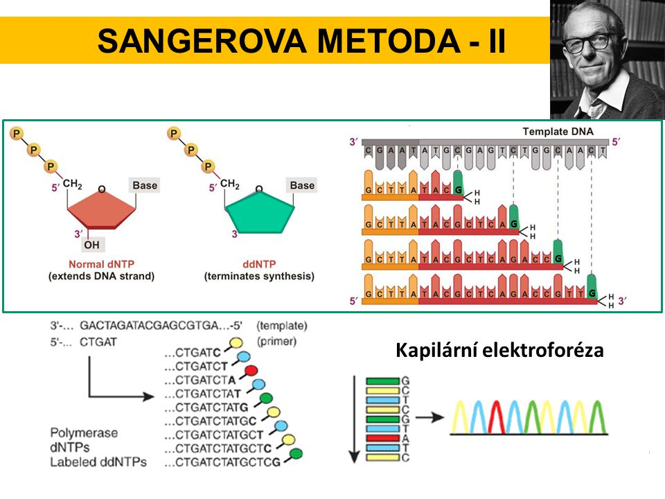Sangerova metoda - II G G G G Kapilární elektroforéza