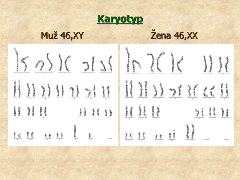 Karyotyp Muž 46,XY Žena 46,XX