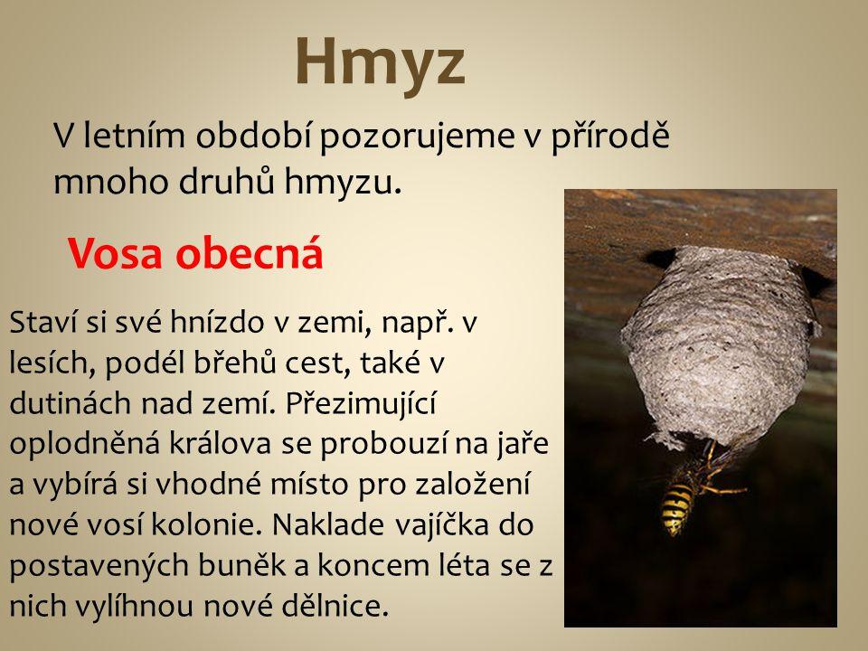 Hmyz V letním období pozorujeme v přírodě mnoho druhů hmyzu. Vosa obecná.