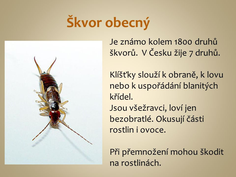 Škvor obecný Je známo kolem 1800 druhů škvorů. V Česku žije 7 druhů.