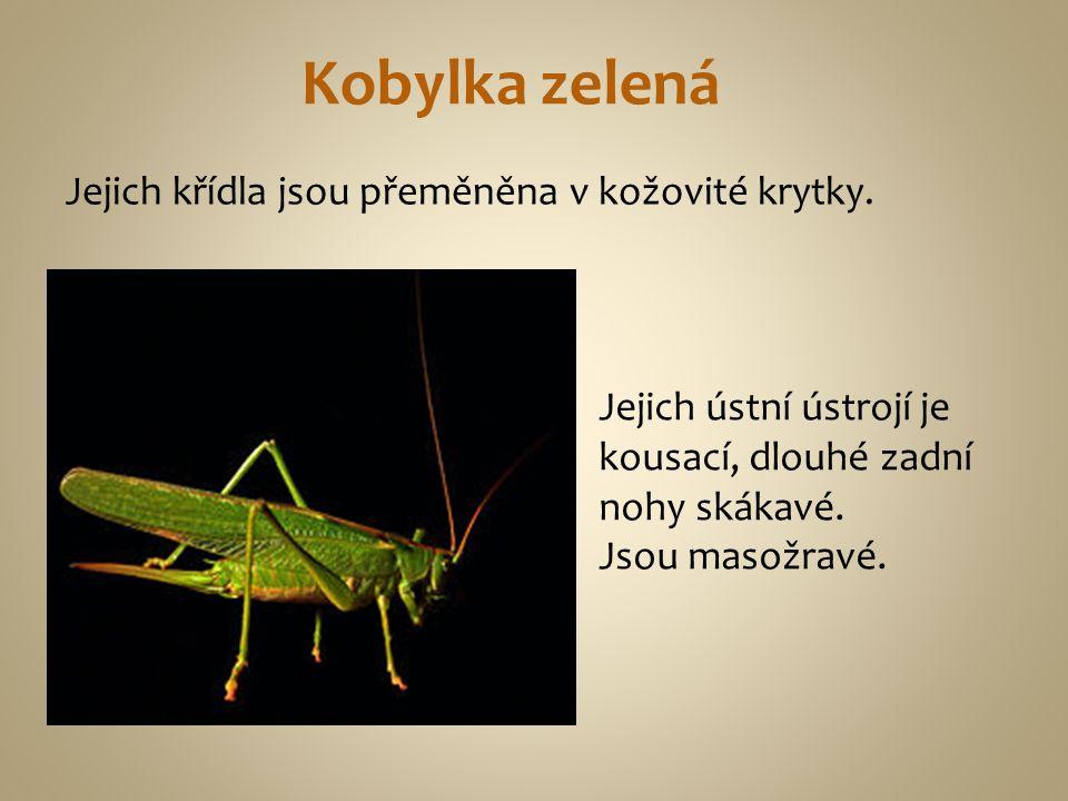 Kobylka zelená Jejich křídla jsou přeměněna v kožovité krytky.