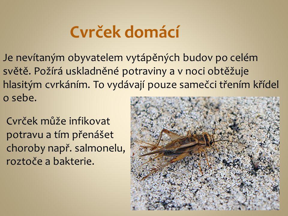 Cvrček domácí