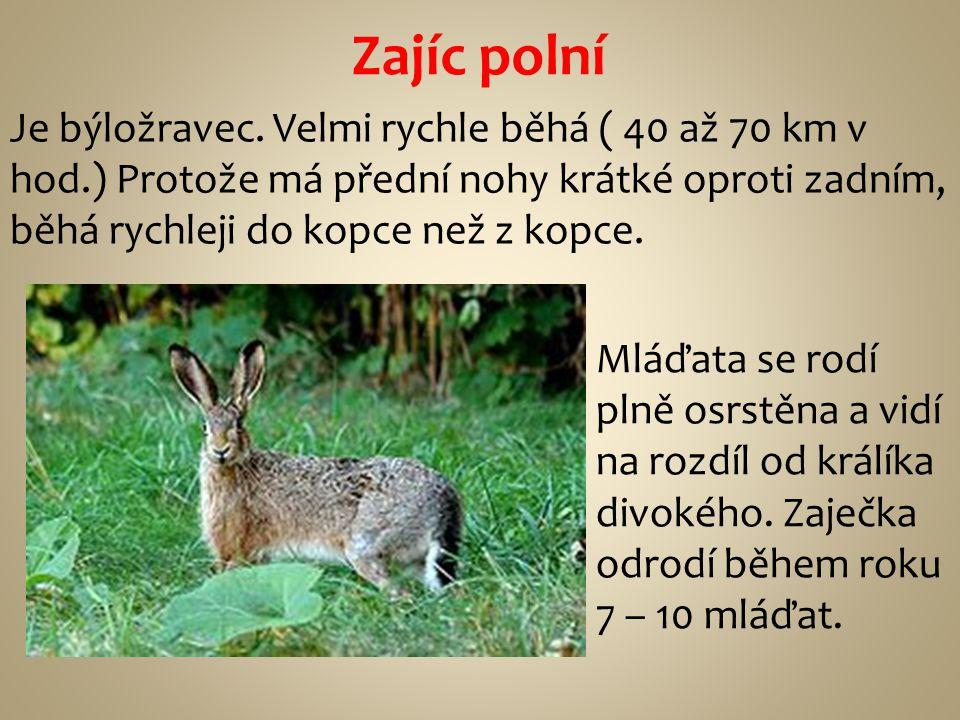 Zajíc polní Je býložravec. Velmi rychle běhá ( 40 až 70 km v hod.) Protože má přední nohy krátké oproti zadním, běhá rychleji do kopce než z kopce.