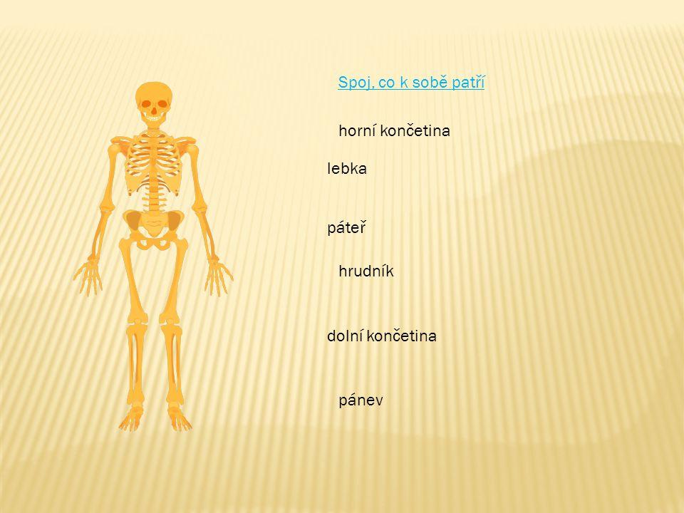 Spoj, co k sobě patří horní končetina lebka páteř hrudník dolní končetina pánev