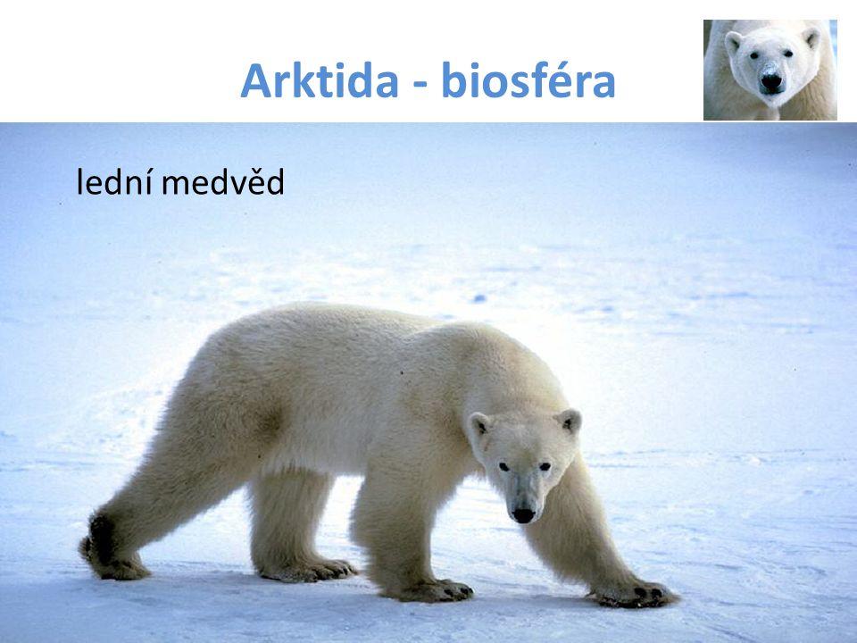 Arktida - biosféra lední medvěd