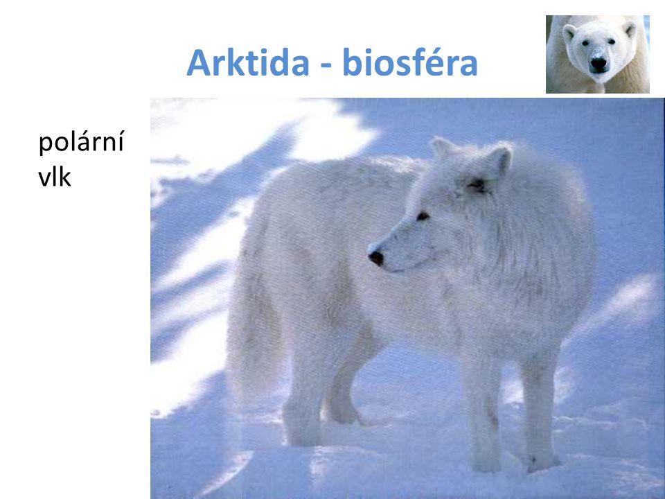 Arktida - biosféra polární vlk