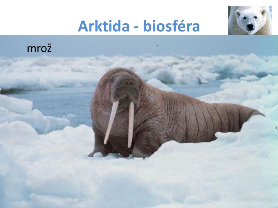 Arktida - biosféra mrož