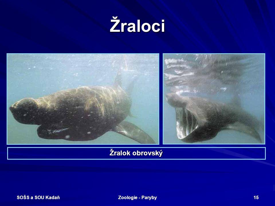 Žraloci Žralok obrovský SOŠS a SOU Kadaň Zoologie - Paryby