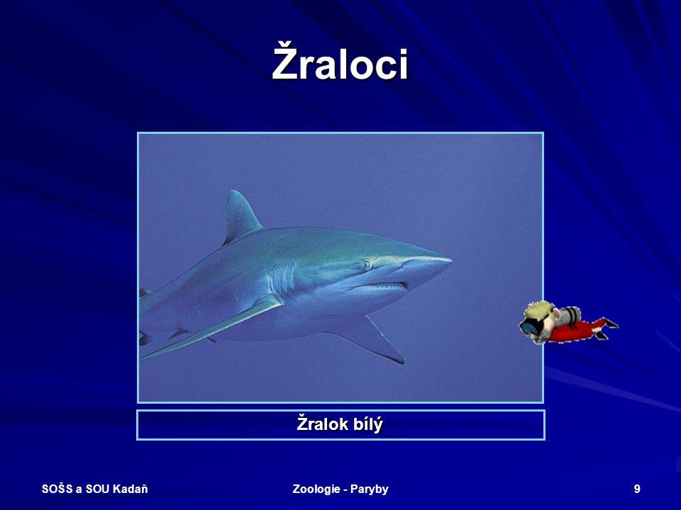 Žraloci Žralok bílý SOŠS a SOU Kadaň Zoologie - Paryby