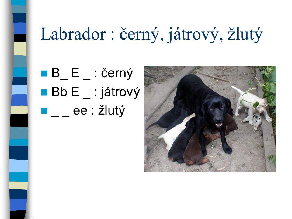 Labrador : černý, játrový, žlutý