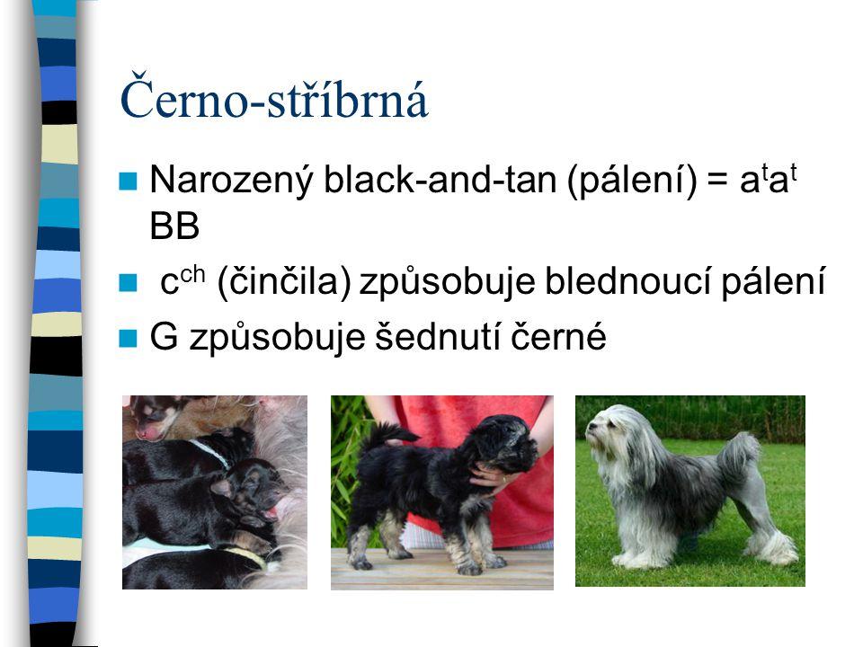 Černo-stříbrná Narozený black-and-tan (pálení) = atat BB