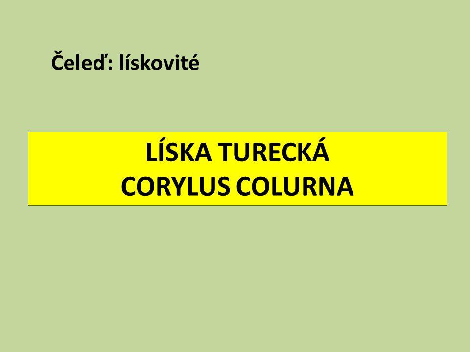 LÍSKA TURECKÁ CORYLUS COLURNA