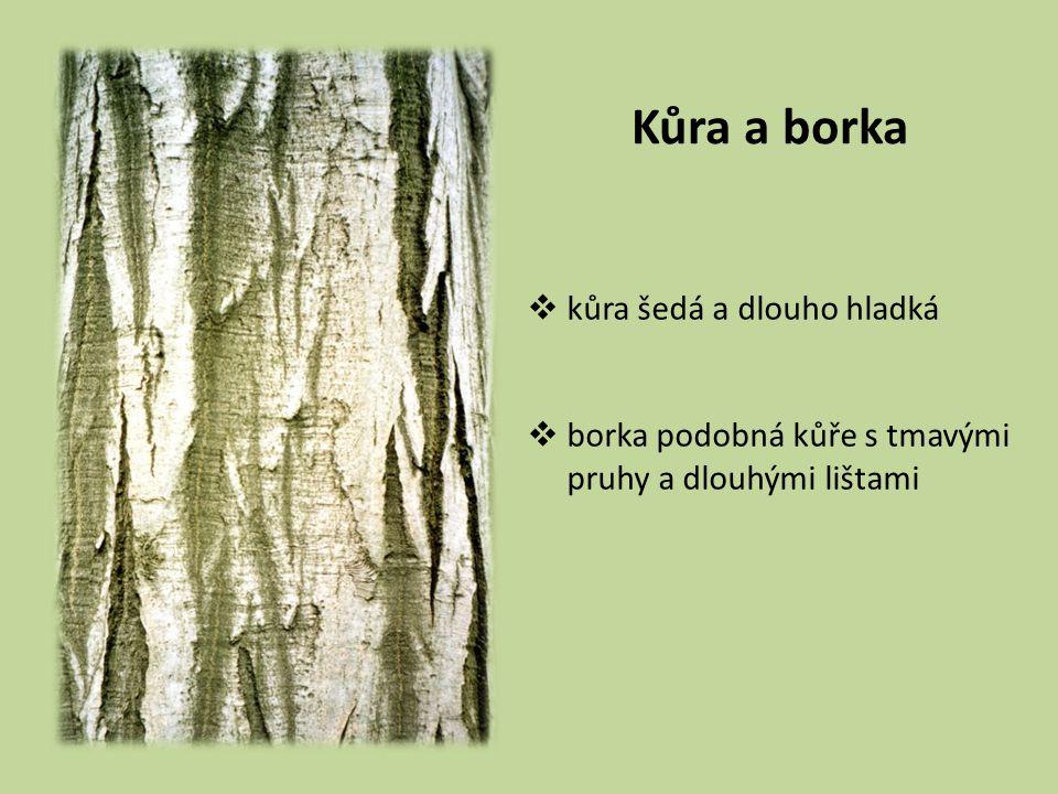 Kůra a borka kůra šedá a dlouho hladká borka podobná kůře s tmavými