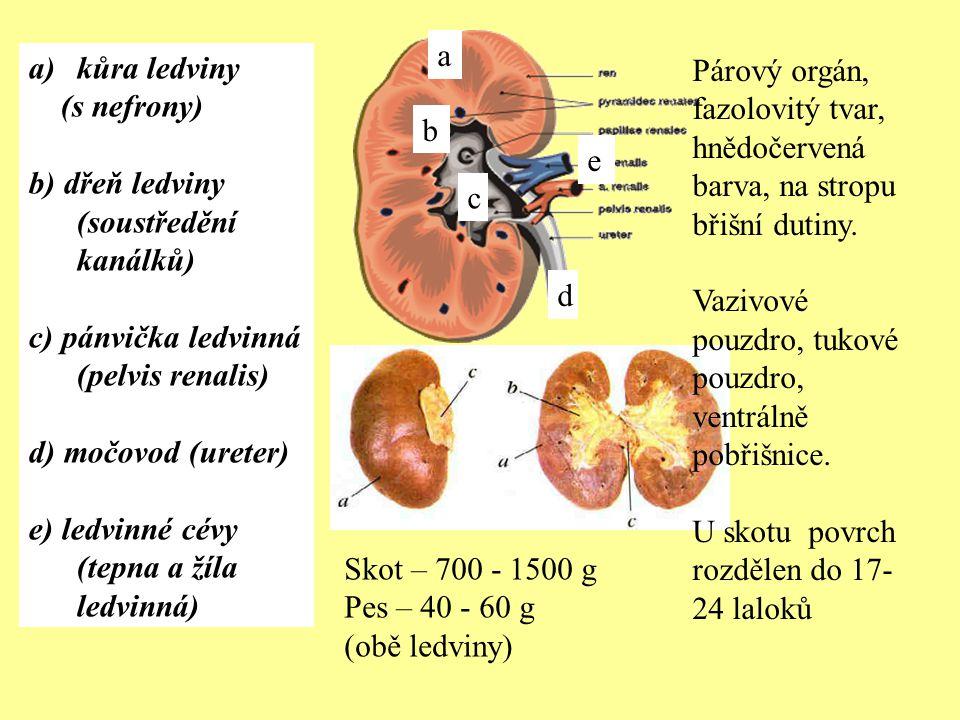a kůra ledviny. (s nefrony) b) dřeň ledviny (soustředění kanálků) c) pánvička ledvinná (pelvis renalis)