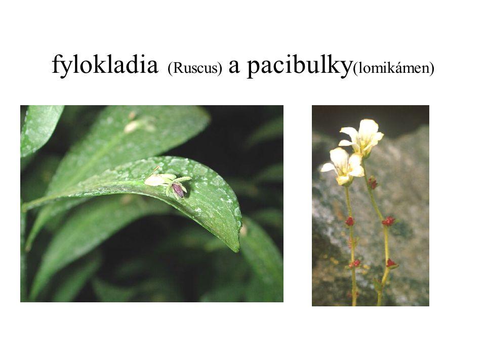 fylokladia (Ruscus) a pacibulky(lomikámen)