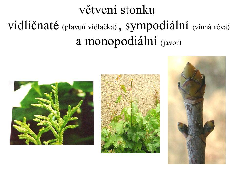 větvení stonku vidličnaté (plavuň vidlačka) , sympodiální (vinná réva)