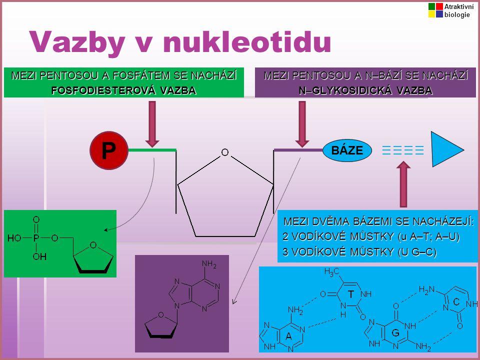 Vazby v nukleotidu P BÁZE