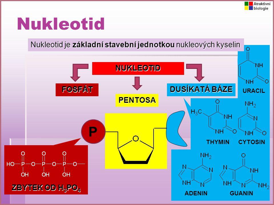 Atraktivní biologie. Nukleotid. Nukleotid je základní stavební jednotkou nukleových kyselin. NUKLEOTID.