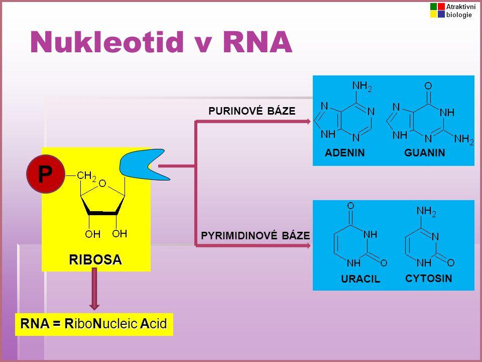 Nukleotid v RNA P RIBOSA RNA = RiboNucleic Acid PURINOVÉ BÁZE ADENIN