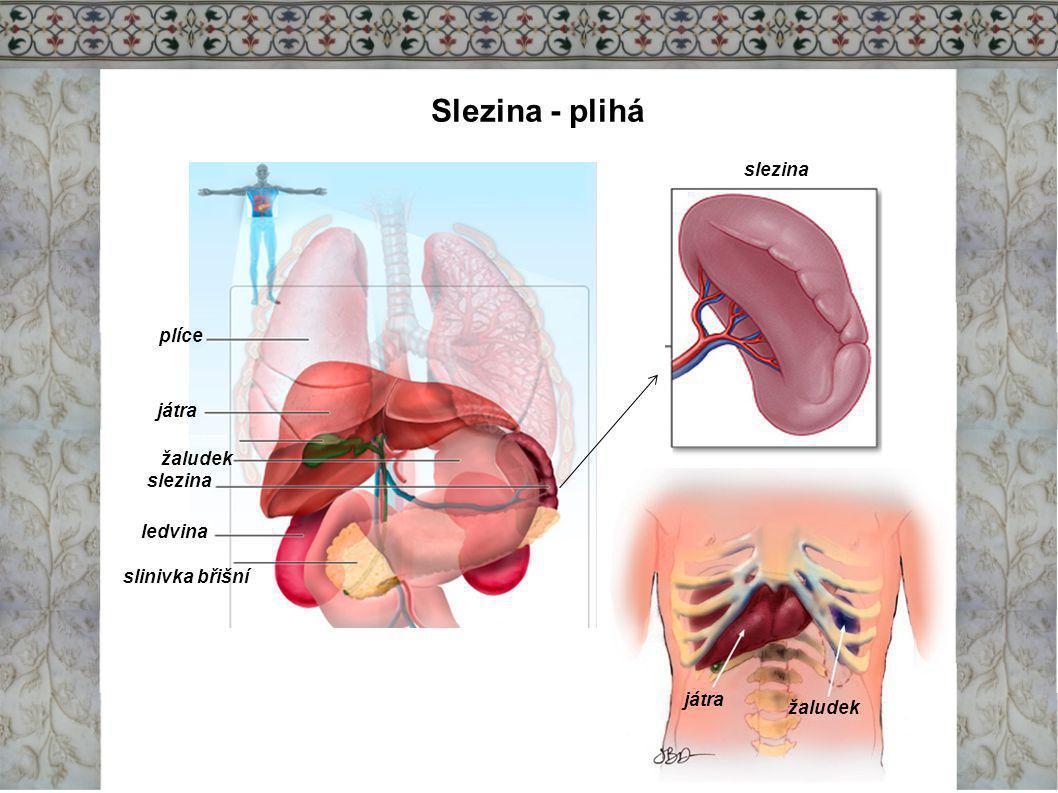 Slezina - plihá slezina plíce játra žaludek slezina ledvina