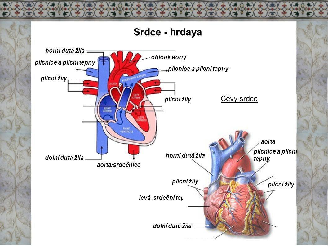 Srdce - hrdaya Cévy srdce horní dutá žíla oblouk aorty