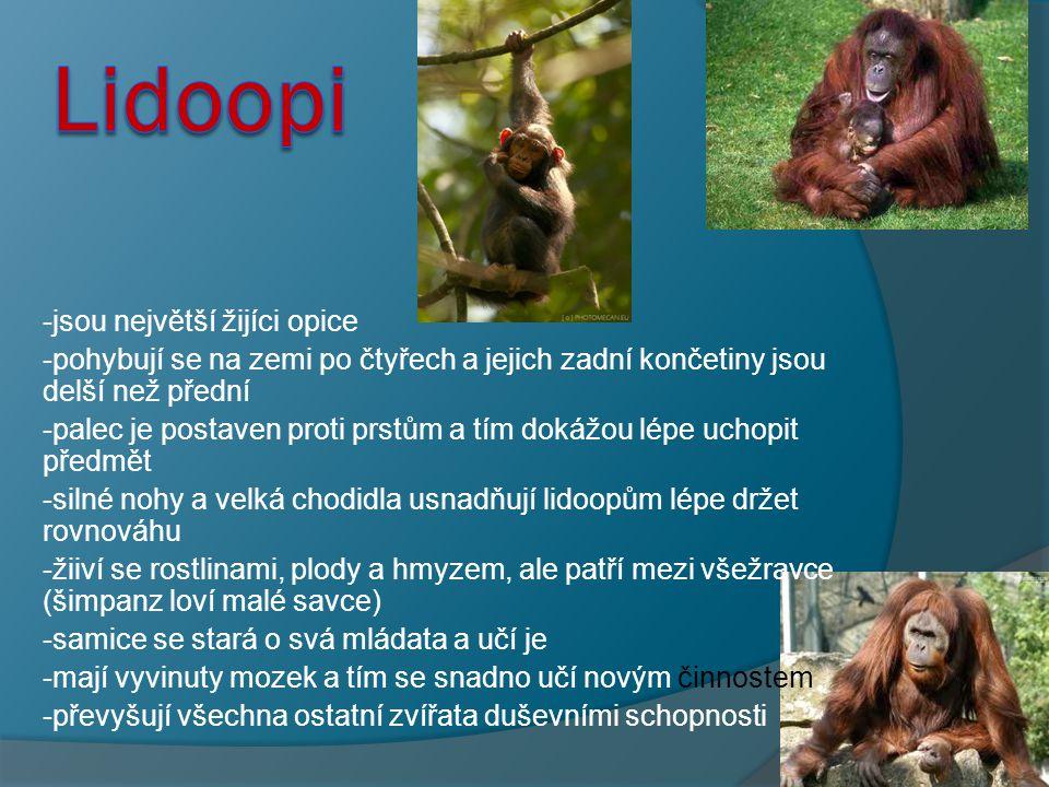 Lidoopi -jsou největší žijíci opice