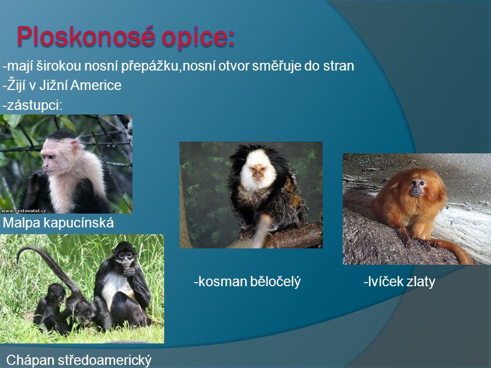 Ploskonosé opice: -mají širokou nosní přepážku,nosní otvor směřuje do stran. -Žijí v Jižní Americe.