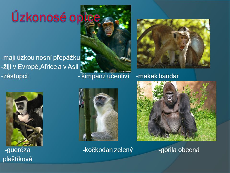 Úzkonosé opice -mají úzkou nosní přepážku