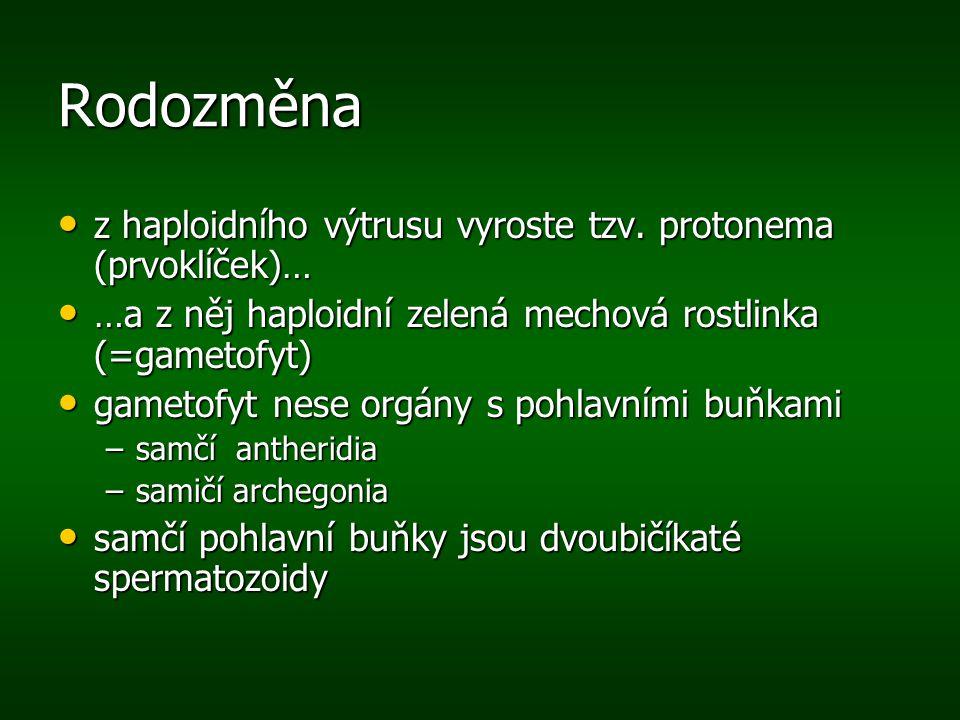 Rodozměna z haploidního výtrusu vyroste tzv. protonema (prvoklíček)…