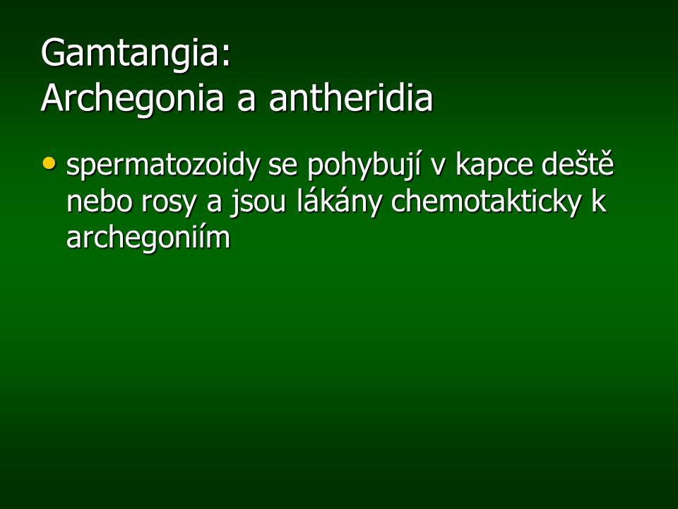 Gamtangia: Archegonia a antheridia
