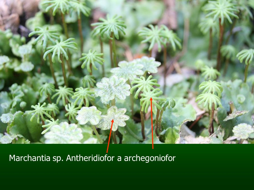 Marchantia sp. Antheridiofor a archegoniofor