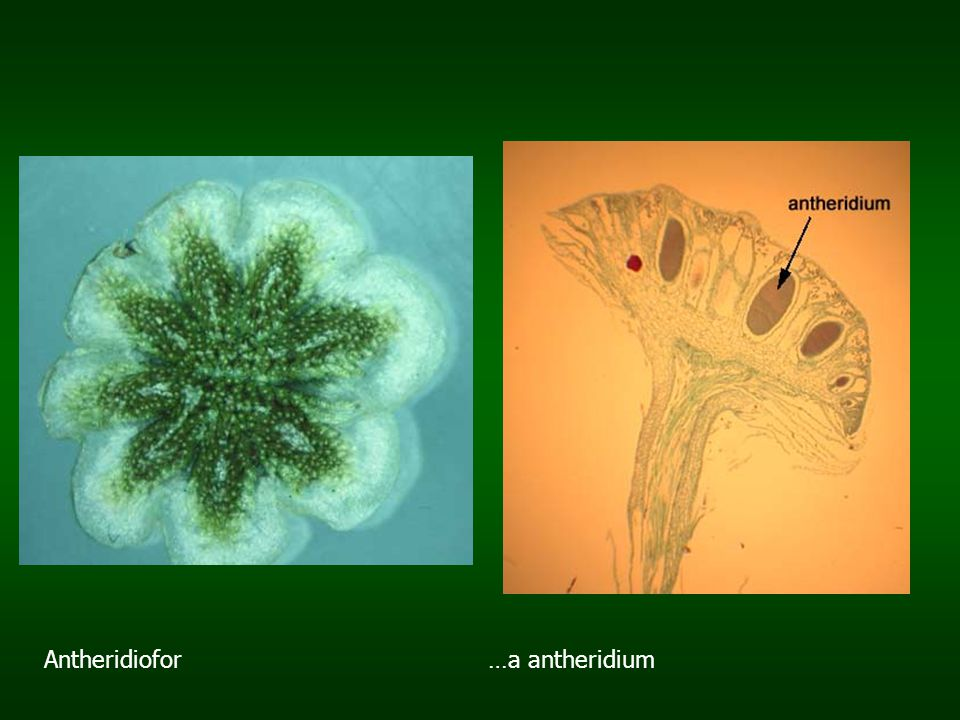 Antheridiofor …a antheridium