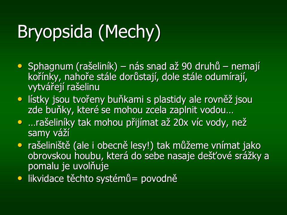 Bryopsida (Mechy) Sphagnum (rašeliník) – nás snad až 90 druhů – nemají kořínky, nahoře stále dorůstají, dole stále odumírají, vytvářejí rašelinu.