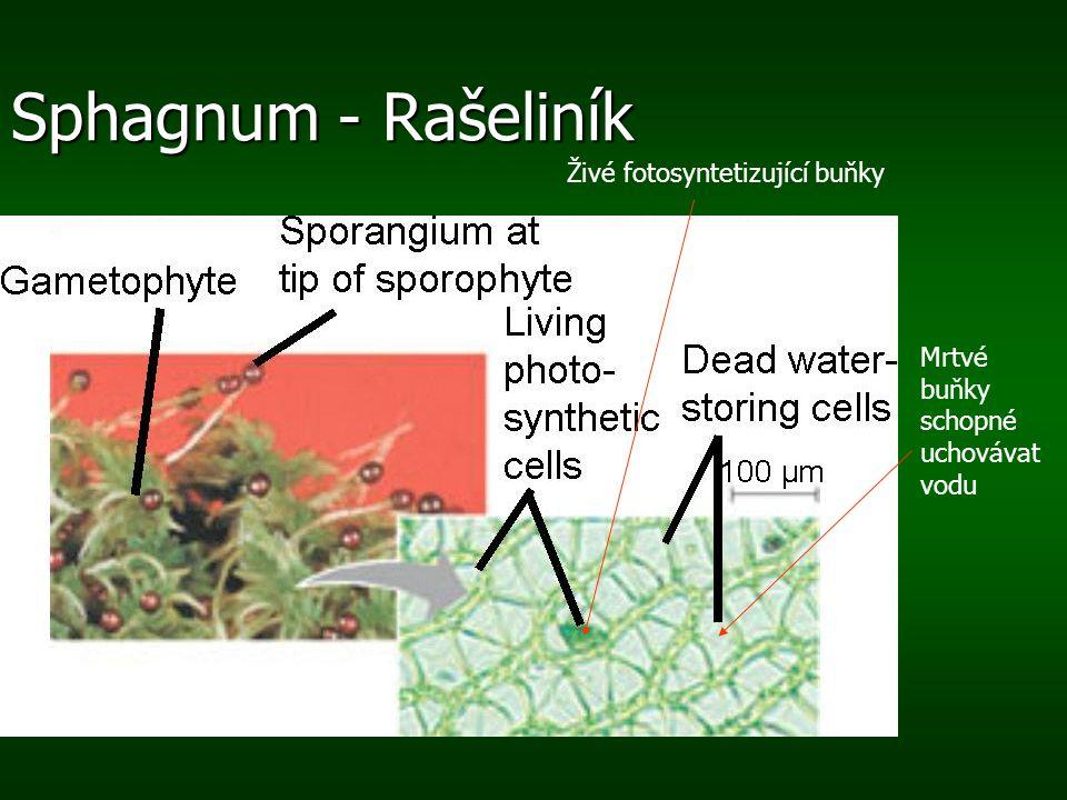 Sphagnum - Rašeliník Živé fotosyntetizující buňky