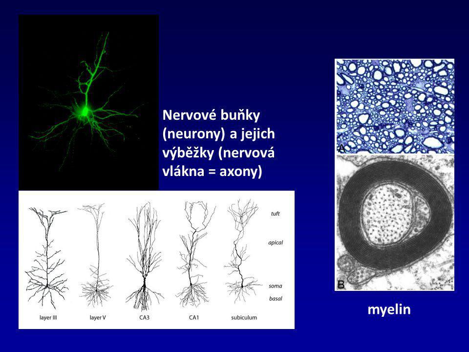 Nervové buňky (neurony) a jejich výběžky (nervová vlákna = axony)
