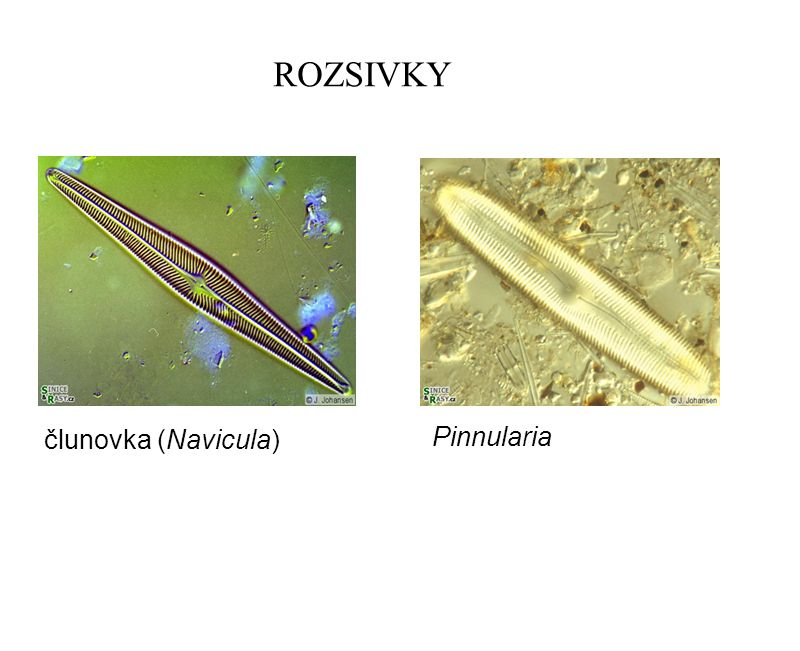 ROZSIVKY člunovka (Navicula) Pinnularia