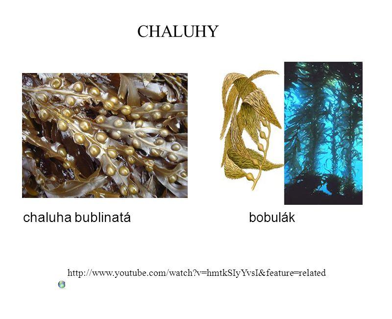 CHALUHY chaluha bublinatá bobulák