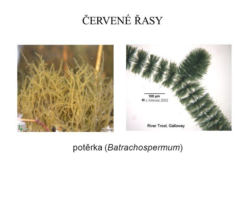 ČERVENÉ ŘASY potěrka (Batrachospermum)