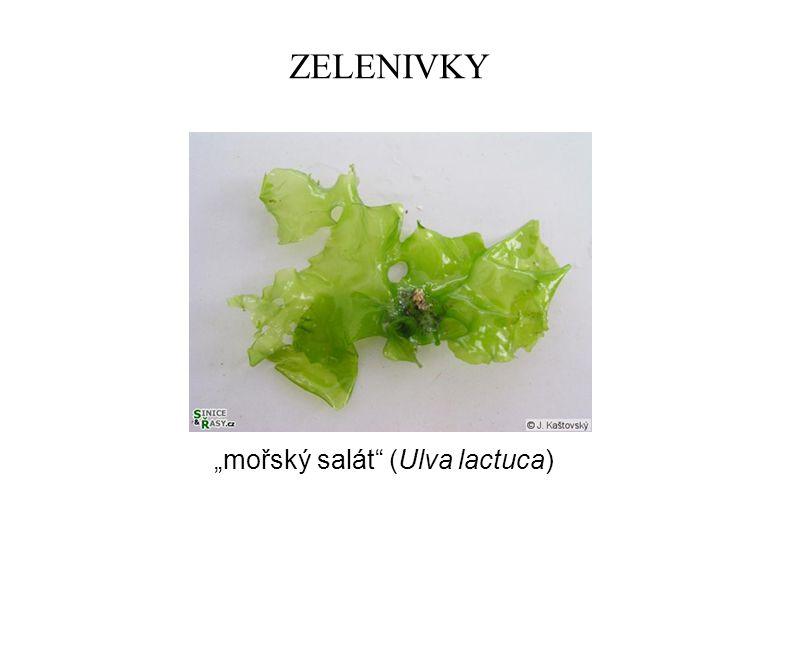 """ZELENIVKY """"mořský salát (Ulva lactuca)"""