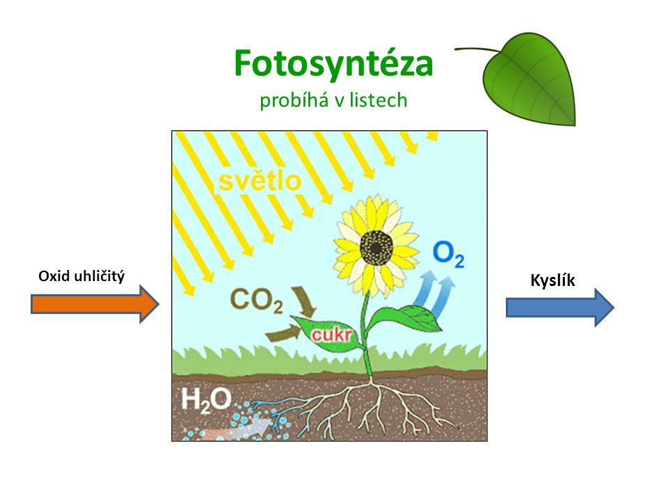 Fotosyntéza probíhá v listech