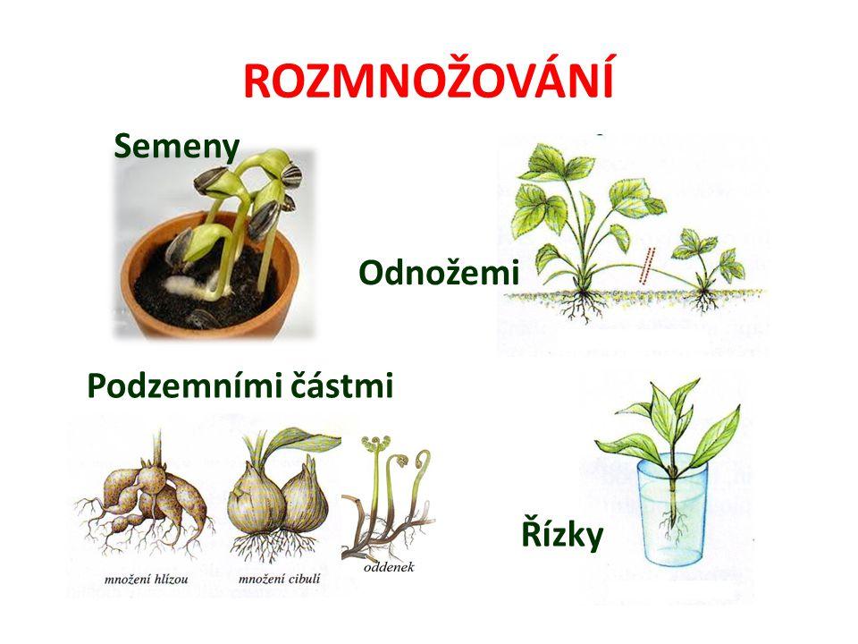 ROZMNOŽOVÁNÍ Semeny Odnožemi Podzemními částmi Řízky
