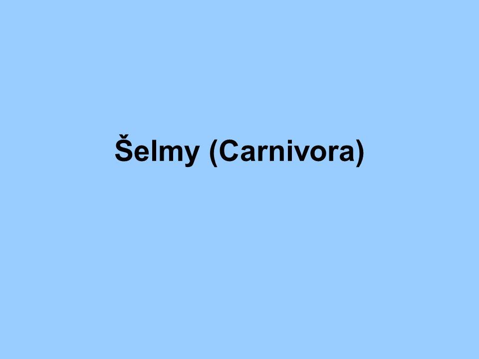 Šelmy (Carnivora)