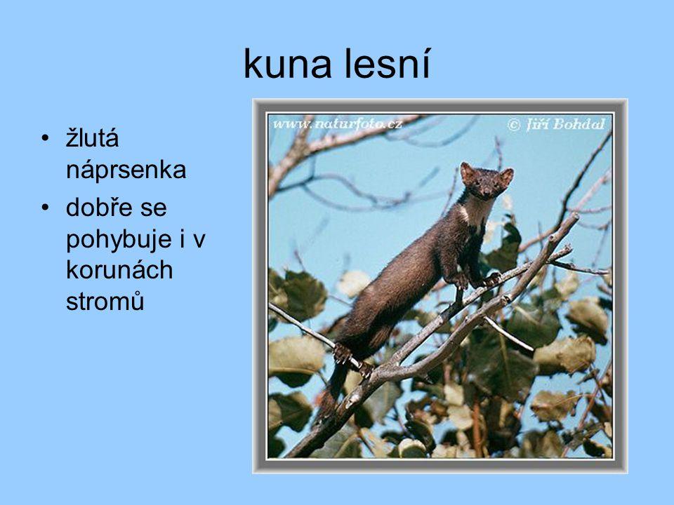 kuna lesní žlutá náprsenka dobře se pohybuje i v korunách stromů