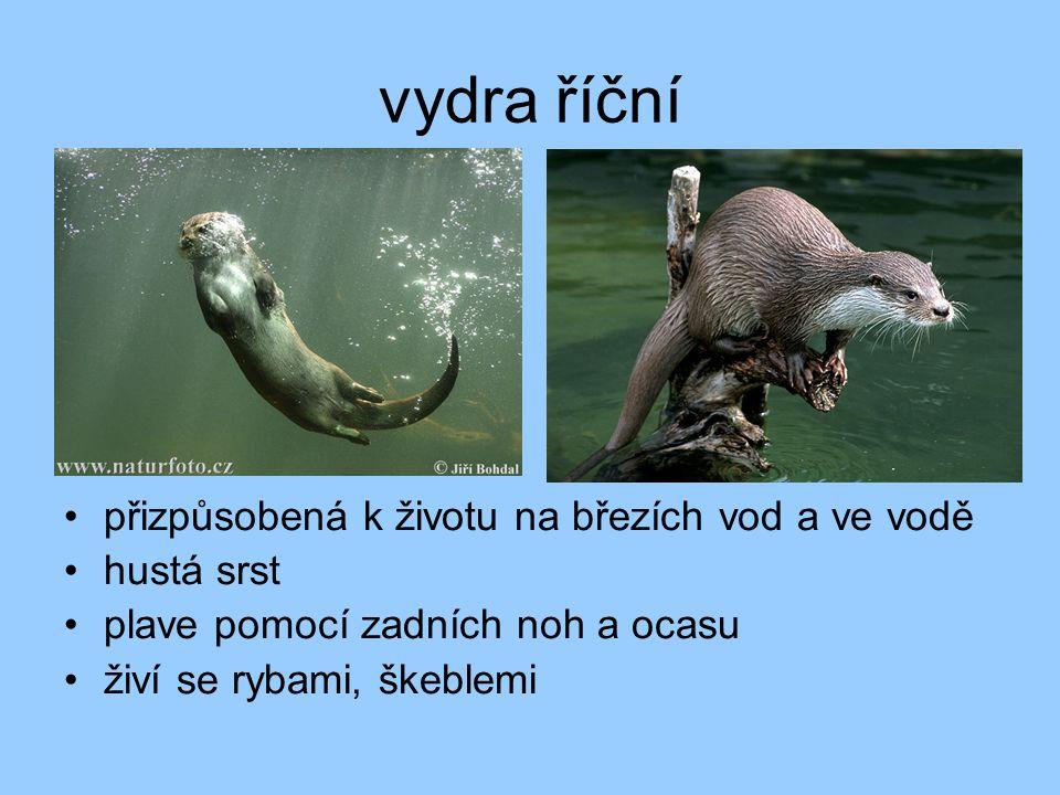 vydra říční přizpůsobená k životu na březích vod a ve vodě hustá srst