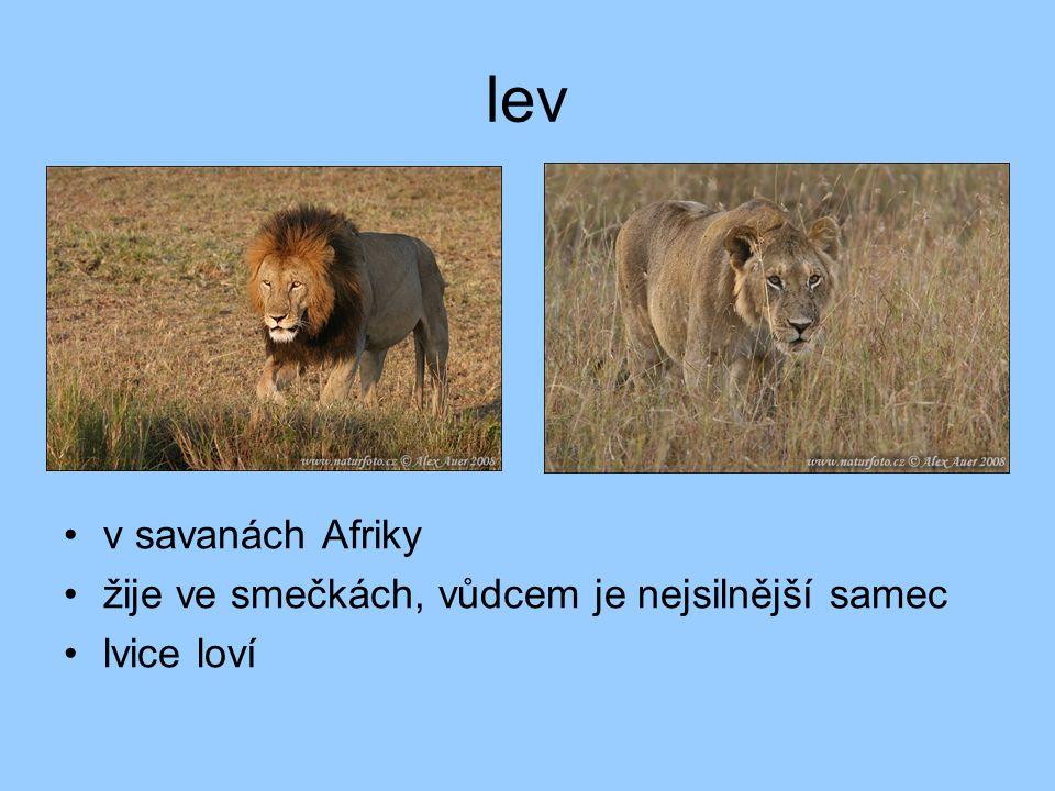 lev v savanách Afriky žije ve smečkách, vůdcem je nejsilnější samec