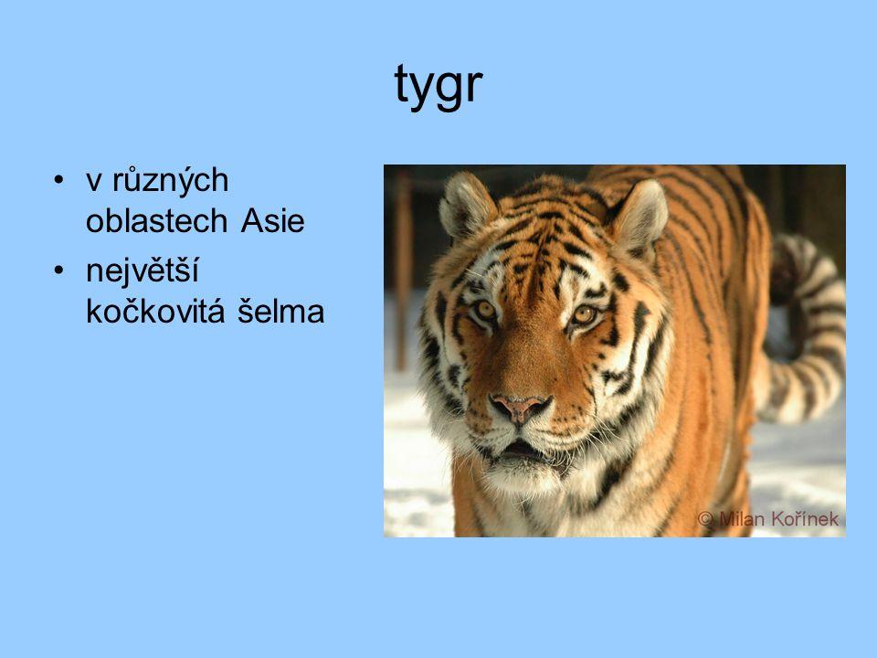 tygr v různých oblastech Asie největší kočkovitá šelma