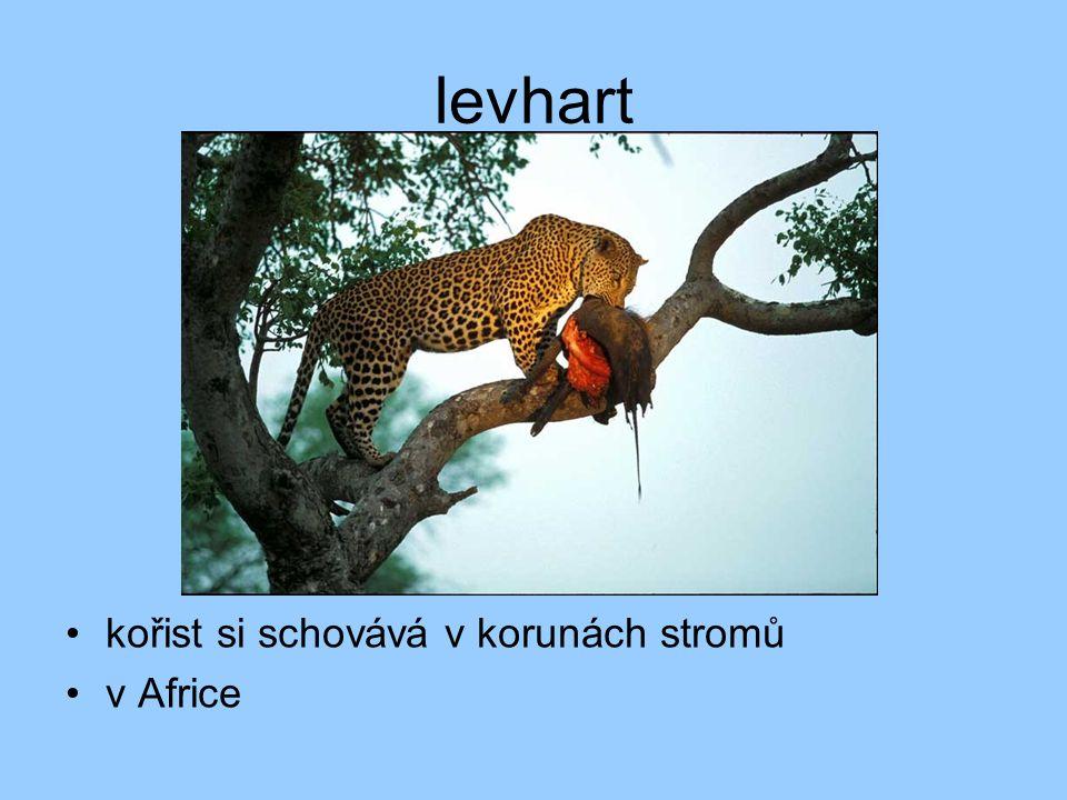 levhart kořist si schovává v korunách stromů v Africe