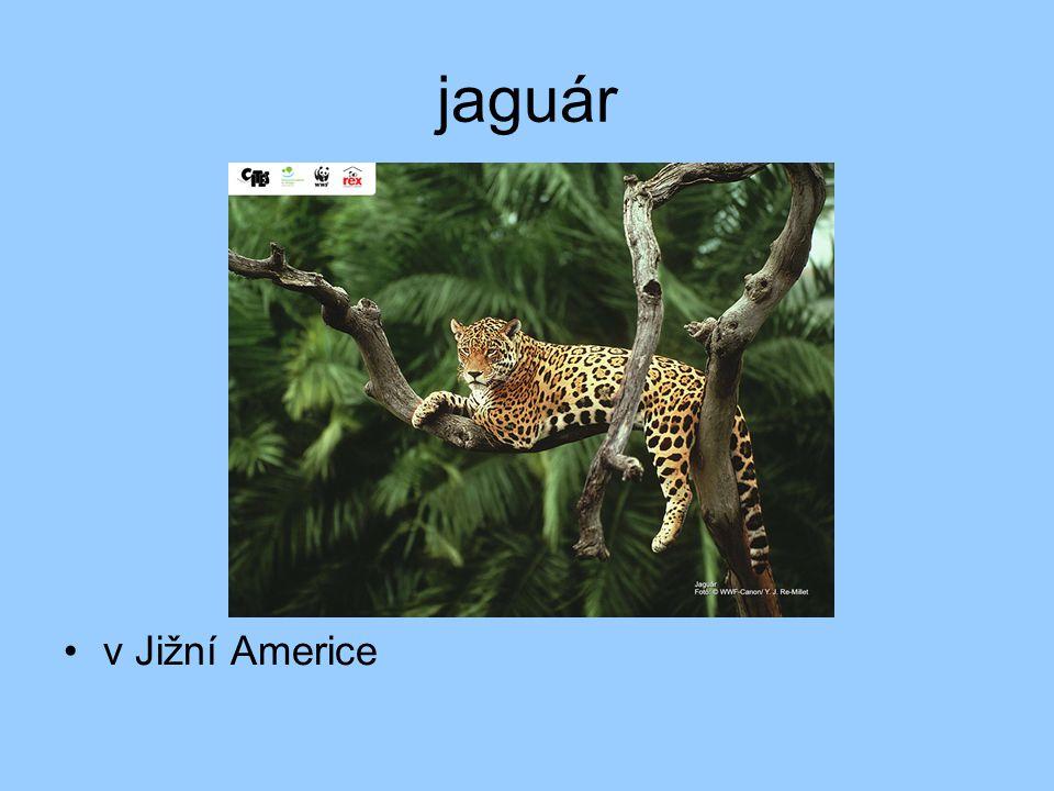 jaguár v Jižní Americe